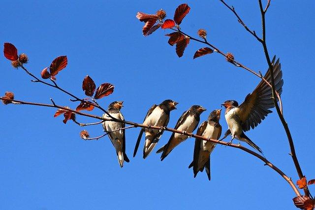 vlaštovky na větvi