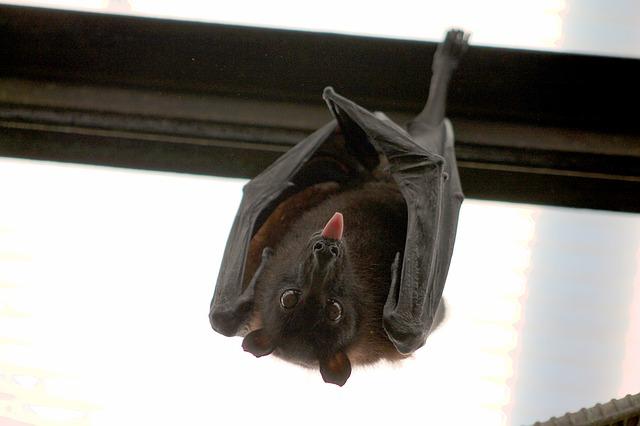drzý netopýr