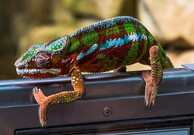 barevný chameleon