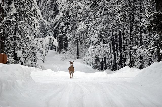 laň v zimě